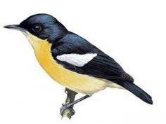 Yellow-bellied Hyliota (Hyliota flavigaster)