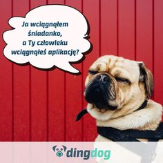 Takie pytanie się pojawiło... Aplikacja wciągnięta? #DingDog #dog #app #pies #spacer #walk #DogLover