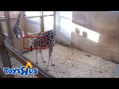 ► Live Feed : Animal Adventure Park - April The Giraffe Giving Birth Mor...