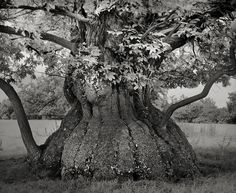 """asylum-art: """" Ancient Trees: by Beth Moon Woman Spends 14 Years Photographing World's Oldest Trees: Beth Moon, Based in San Francisco, photographer Beth Moon has been travelling for 14 years all. Croft Castle, Le Baobab, Sequoia, Bristlecone Pine, Tree Woman, Old Trees, Tree Photography, Photography Magazine, Tree Forest"""