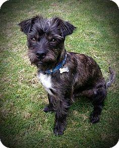"Seattle, WA - Border Terrier/Brussels Griffon Mix. Meet ""Harvey"", a dog for adoption. http://www.adoptapet.com/pet/12144606-seattle-washington-border-terrier-mix"