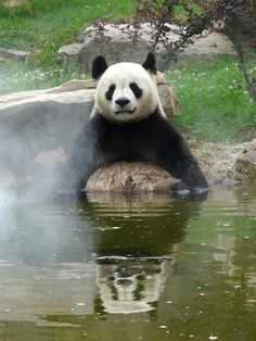 ~~Giant Panda: Yuan Zi in the bath! by Alex..H~~