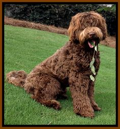 great coat labradoodles Pinterest Labradoodles and
