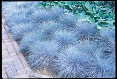 "Elijah Blue.This decorative ornamental grass is a favorite for edging and rock gardens. It's blue color and compact size will add accent to your landscape and gardens throughout the summer. Reaching only 10"" high at maturity and 1' wide, Elijah Blue is often used as a ground cover. Does best when planted in a dry soil with good drainage and a sunny to light shade area. Shipped in pots. Shipped in spring only. Zones 4-8."