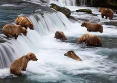 Bears Fishing For Salmon