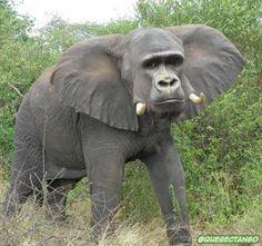 Gorillaphant. | 28 Unsettling Animal Mashups That Should Probably Never Have Happened