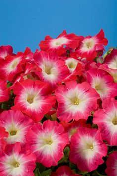 Petunia Seeds 50 Pelleted Seeds Celebrity Red Morn by nurseryseeds