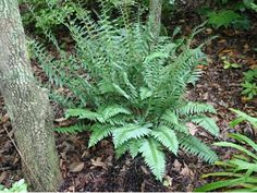 what zone is a Christmas fern - Google Search