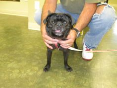 Mak gets adopted! His new owners always wanted a pug, and his new dad Roberts middle name is Mak! It's a match made in heaven!