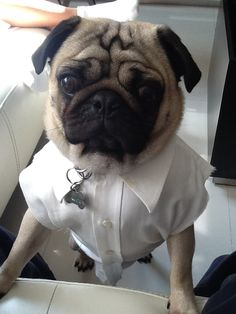 pug in clothes Pugs In Costume, Costumes, Pug Life, Army, Pets, Animals, Clothes, Diy Dog, Gi Joe
