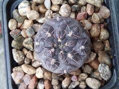 Gymnocalycium berchtii Tom 384