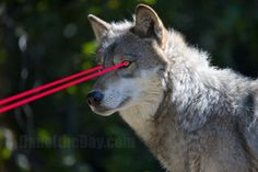 """""""Laser Wolf"""" (from Fiddler on The Roof)    ROFL!"""
