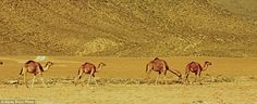 Camels make their way across the dusty desert. Oman has one of the hottest climates in the...