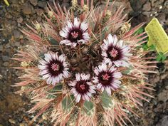 Ferocactus recurvus AFR 8