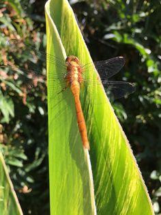 Amazing dragonfly in my garden