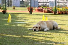 Jamshedpur Obedience Dog Show 2014 Dog Show, Dog Pictures, Labrador Retriever, Dogs, Animals, Image, Labrador Retrievers, Animales, Pictures Of Dogs
