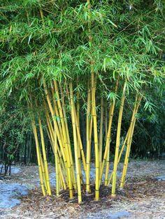 1000 id es sur le th me jardin de bambous sur pinterest bambou cl tures plantes de bambou et - Comment planter des bambous ...