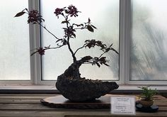Crab Apple Bonsai at the Minnesota Bonsai Society 2016 Mother's Day Show.