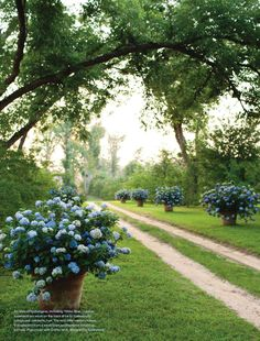 Have always dreamed of a long driveway...lining them with hydrangea pots = tres romantic