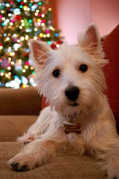 westie for christmas? Merry Christmas Card Puppy Holiday Dogs Santa Claus Dog Puppies Xmas West Highland white Terrier Westies