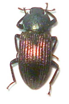Tenebrionidae species from peleng island