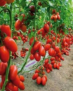 San Marzano tomatoes 🍅😍 Credit:'Beautiful Nature''(FB) For seeds inquiries/orders, E-mail me👈 Use #hydrovegan to be featured