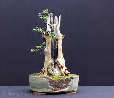 blauzeder wacholder als bonsai bonsai b ume pinterest bonsai baum kleine b ume und baum. Black Bedroom Furniture Sets. Home Design Ideas