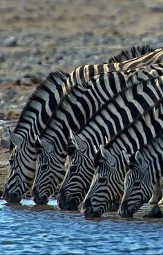 Zebras all in a row...