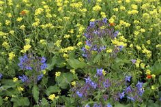 Companion planting is based on the idea that some plants perform better if they are located near a strategic plant partner that may attract beneficial insects, improve soil quality, or even share root space in a beneficial manner. Learn about borage and companion planting here.