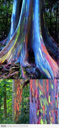 Gorgeous rainbow eucalyptus