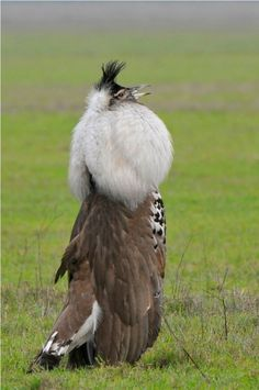 "Kori Bustard - ""male in love"" - fluffing up feathers for the ladies, Photo by Paolo Maffioletti (Native to Africa and may be the heaviest bird capable of flight"