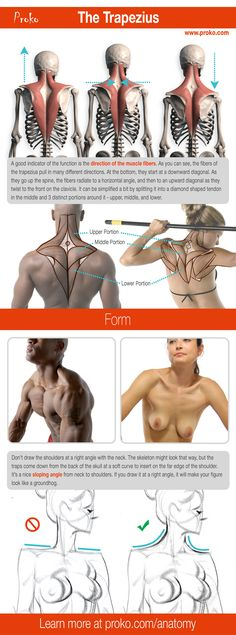 Here's a detailed look at the the trapezius. Learn more about how to draw the upper back at proko.com/anatomy.
