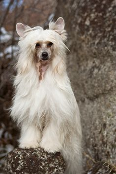 Chinese Crested (Powderpuff) 10