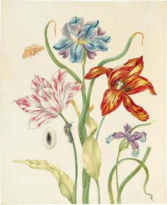 Like Maria Sibylla Merian's stepfather, Jacob Marrel, Merian's daughter  Johanna Helena Herolt was fascinated by tulips. Marrel worked as an artist  during t...