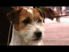 Jack Russell Terrier-The famous Jack - YouTube