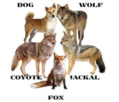 "THE DIFFERENCES BETWEEN A: (""DOG / WOLF / JACKAL / COYOTE & A FOX"") ....."