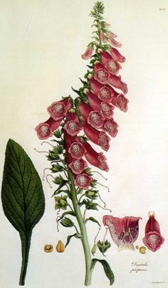 This is a copperplate of Ferdinand Bauer's painting of Digitalis viridiflora Lindl. It was included in an 1821 monograph by botanist John Lindley on the foxglove genus.