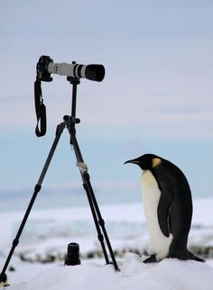 ahah I love this shot! - Posing penguin Photo by Dafna Ben Nun — National Geographic Your Shot