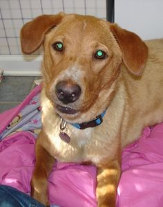 Meet Lolly, a Petfinder adoptable Labrador Retriever Dog | Chadds Ford, PA | Lolly is a 3 year old Lab/Golden mix who weighs about 80 pounds.    She is a very smart dog, learns...