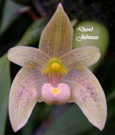 Bulbophyllum orectopetalum
