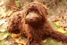 Own a Red #labradoodle