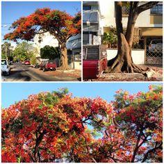 Este árbol (tabachín) de flores anaranjadas hace lucir a la ciudad, sin embargo, debe de ser ubicado en espacios amplios ya que es un árbol robusto y sus raíces se expanden y pueden llegar a dañar banquetas o instalaciones subterráneas.