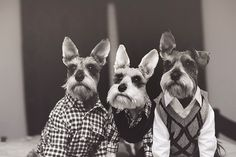 #schnauzer - pups got their christmas outfits :O)