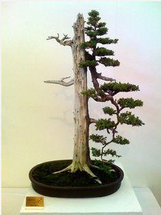 #tronco #bonsai #asimetrico