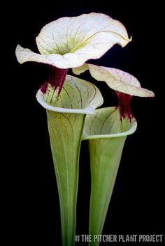 Sarracenia oreophila x 'Adrian Slack'