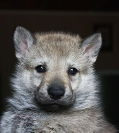 """""""I am plotting to murder you.with love and puppy breath. FEAR ME! Czechoslovakian Wolfdog, Puppy Breath, Dog Breeds, Dogs And Puppies, Husky, Pets, Wolf Dogs, Animals, Wildlife"""