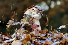 Karis, an eleven week old lion cub, plays in fallen leaves brushed up by keepers in her enclosure at Blair Drummond Safari Park, near Stirling, central Scotland, Nov. 20, 2013. (Photo by Andrew Milligan)