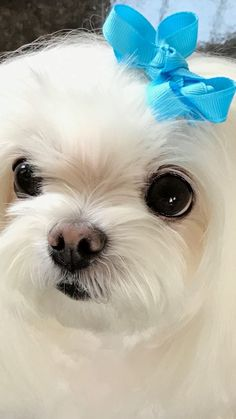 Beautiful Maltese with big eyes. White Puppies, Puppies And Kitties, Teacup Puppies, Pet Dogs, Teacup Maltese, Doggies, Pet Shop, Super Cute Animals, Maltese Dogs