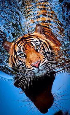Tigerssss