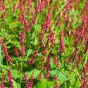 Mountain Fleece, Knotweed, Bistort, Polygonum Amplexicaule, Firetail, Persicaria Firetail, Persicaria Rosea, Persicaria Alba, Persicaria atrosanguineus,